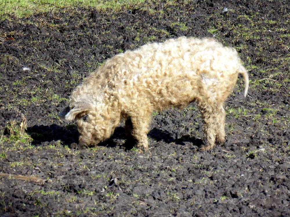 photos of woolly pigs by Andie Gilmour