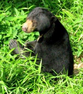 Beruang Madu ( Helarctos malayanus )