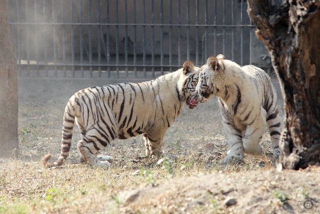 Sibling Rivalry, Shashank Mittal Photography, Shashank Mittal, Shashank, White tiger, white tiger photography, wild life