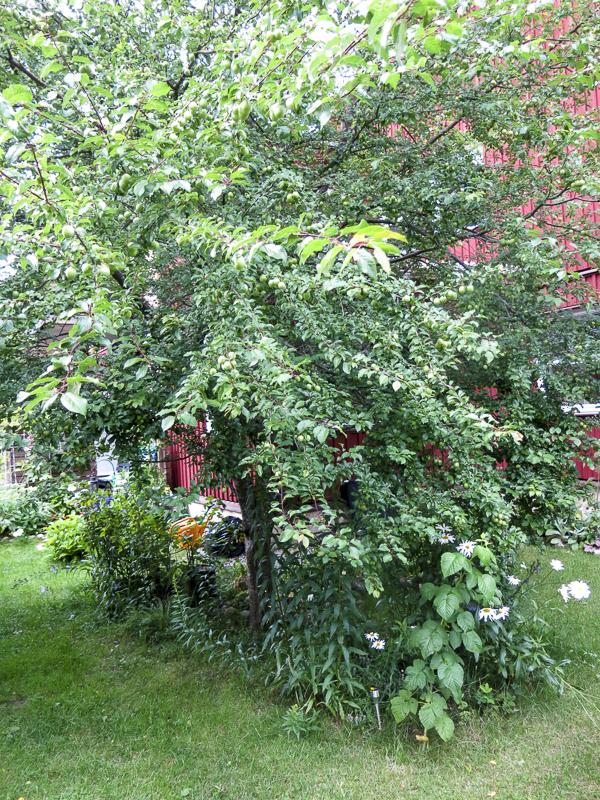 mirabelleträdet