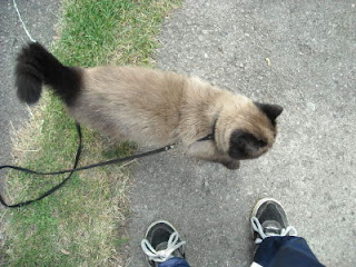 Czekoladowy kot