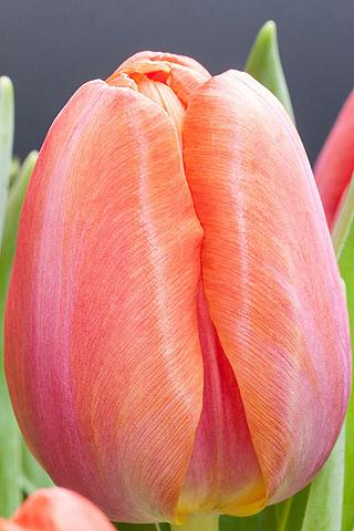 Tulipán - Solo Nuevas