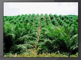 Tips menanam pohon sawit