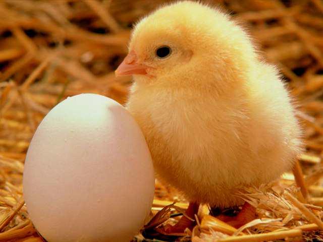 Desarrollo y Crecimiento : Desarrollo y Crecimiento de los pollos
