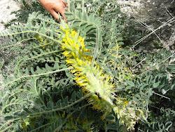 Astragalus macrocarpus subsp.lefkarensis - Αστράγαλος ο μακρόκαρπος υποείδος των Λευκάρων.