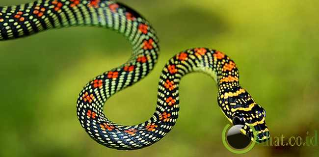 Ular terbang (flying snake)