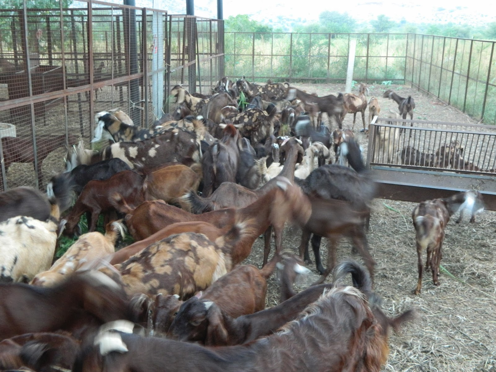 Goat Farm Diversification In Indian Conditions