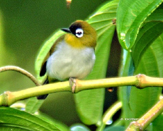 Burung Pleci atau Burung Kacamata, Zosteropidae