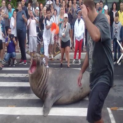 Elefante-marinho atravessa Avenida Atlântica, em Balneário Camboriú
