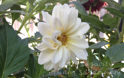 white dahlias