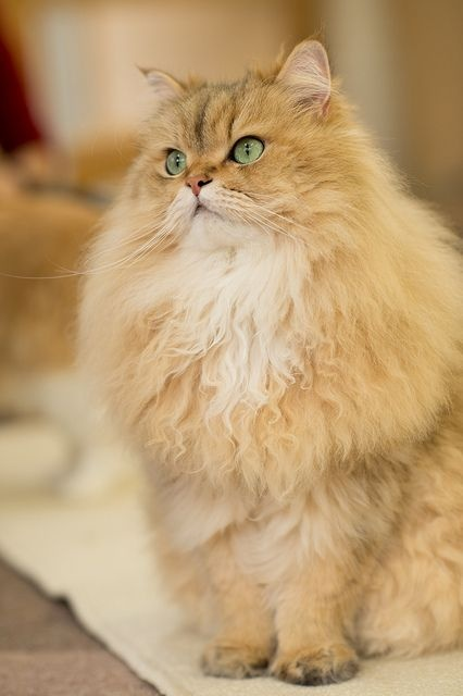 how do cats contract feline leukemia