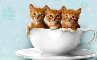 Gambar Wallpaper Kucing Lucu Banget 200011