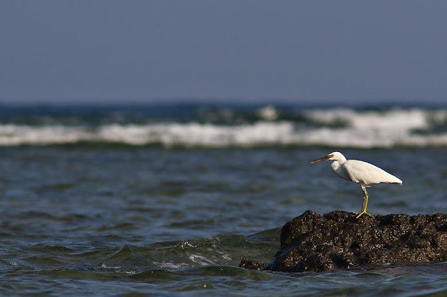 Pacific Reef Egret