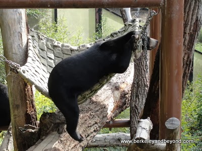 sun bear in hammock at the Oakland Zoo in CA
