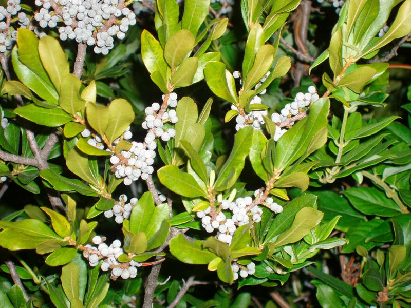 Benefits Of Bayberry (Myrica cerifera) For Health