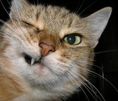 Obat Tradisional untuk luka di gigit kucing