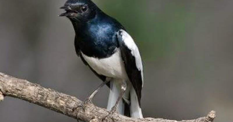 tips merawat burung cara merawat burung kacer cepat gacor