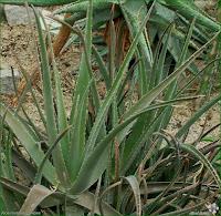 http://plantsgallery.blogspot.com/2014/02/aloe-mutabilis-aloes-zmienny.html