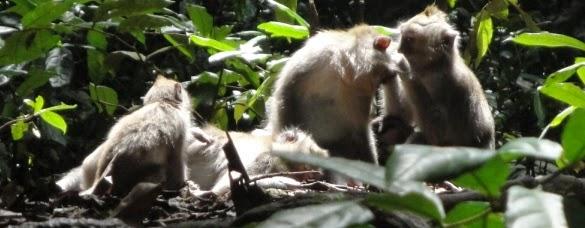 Hutan Monyet Suci Ubud - Ubud, Desa, Gianyar, Bali, Liburan, Wisata, Atraksi