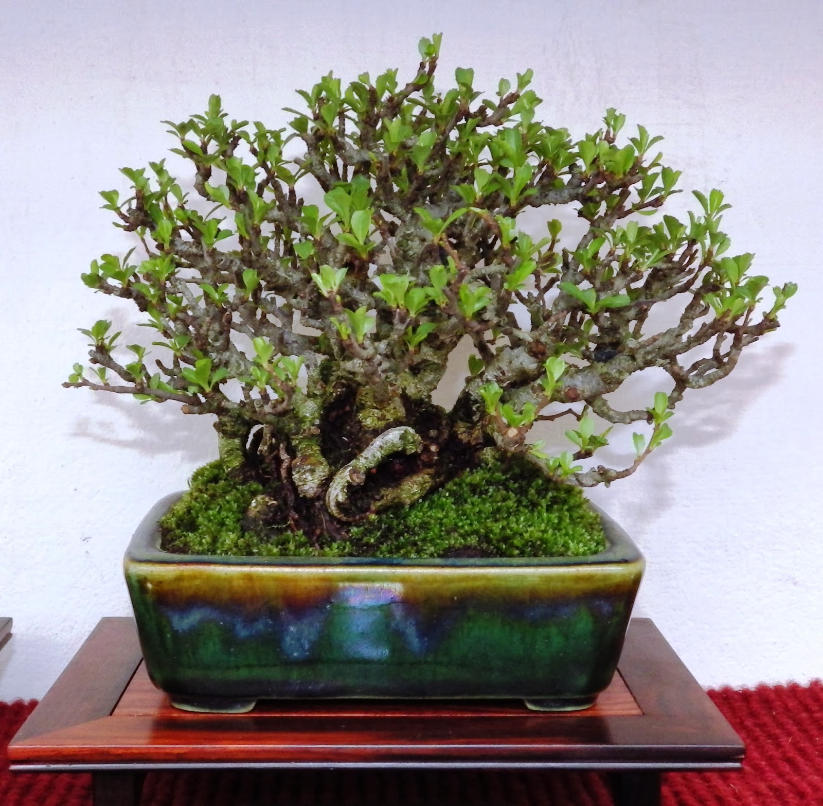 Bespoke Bonsai Stands British Shohin Association Show 2014