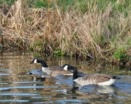 male and female Canada Geese