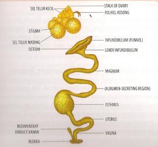 Gangguan Organ Reproduksi Pada Ayam Petelur