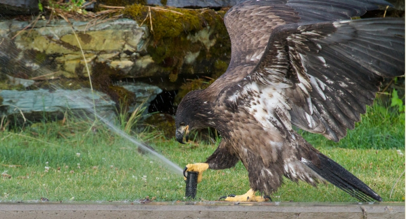 A young bald eagle plays with a sprinkler at Flathead Lake, Montana (VIDEO)