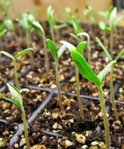 Plantar Tomates - Sementes