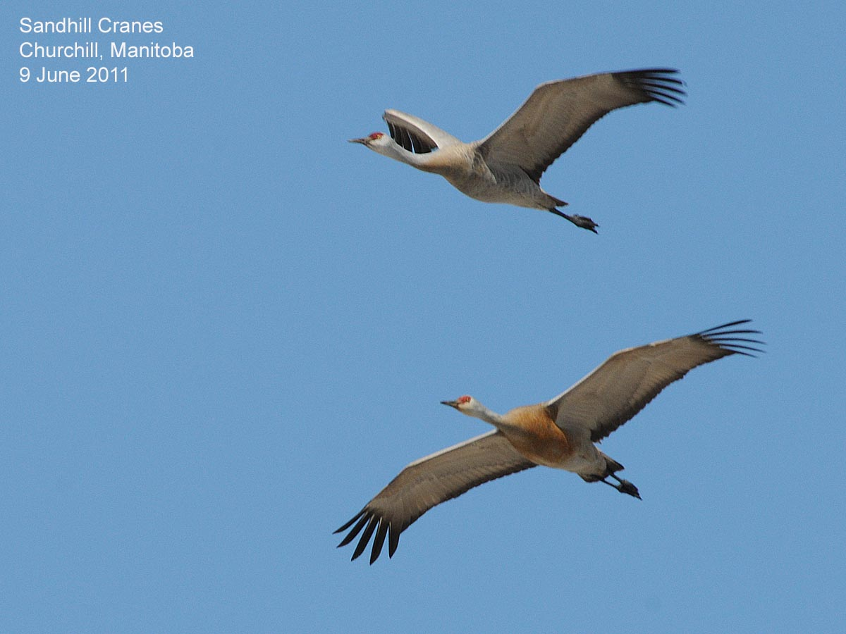 A Festival Of Cranes Bay Nature >> Northwest Nature Notes Sandhill Cranes Thrive In The Northwest