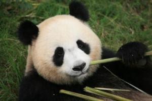fedex panda express, huan huan panda, panda express france, giant panda