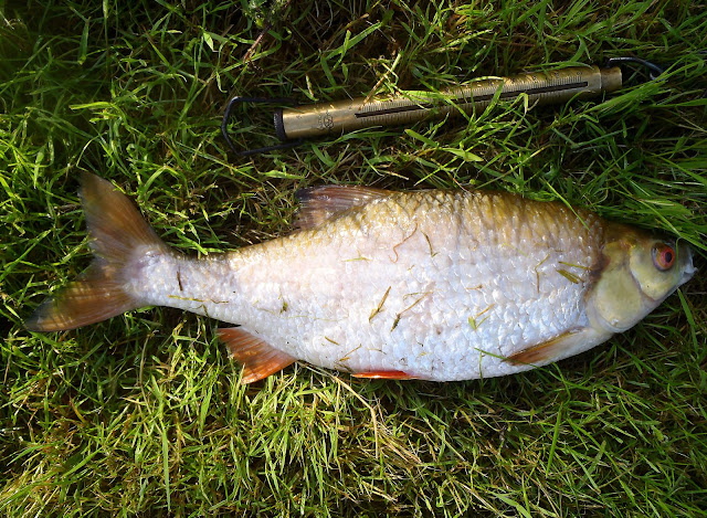 A large Coventry Canal roach, unfortunately dead...