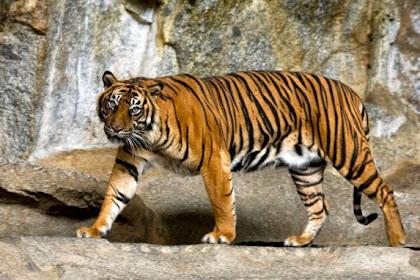 Mengelus Harimau, Remaja 11 Tahun Harus Kehilangan Tangannya
