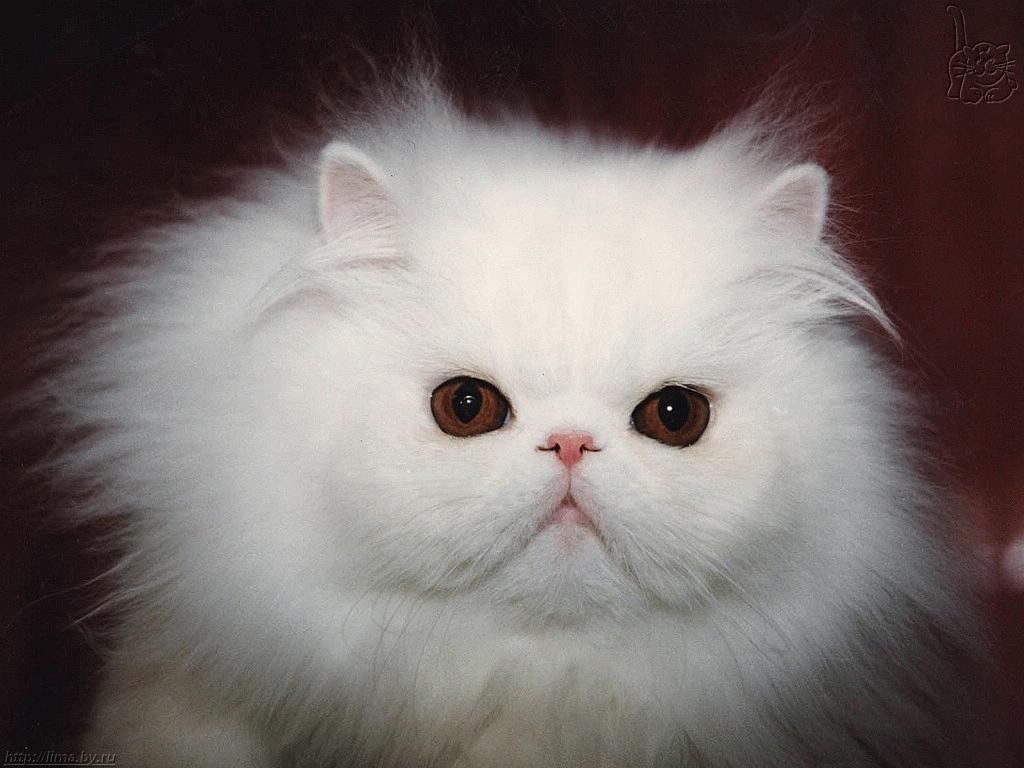 Persian Cat White Olx