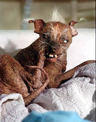 Помесь чихуахуа и китайской хохлатой собачки, фото самая страшная собака на планете, фото фотография
