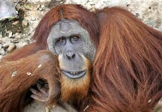 #somostodosmacacos Orangotango01