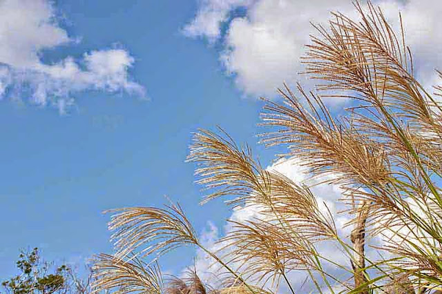 pampas grass, blue shy, golden stems