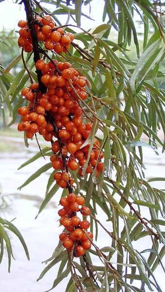 Growing hermione 39 s garden hippophae rhamnoides sea buckthorn - Growing sea buckthorn ...