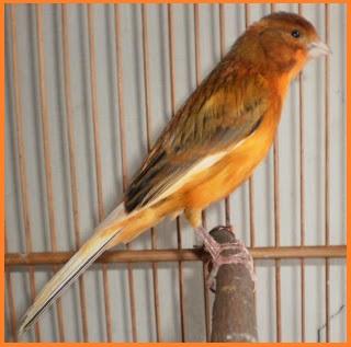 gambar burung kenari f1 - gambar burung - gambar burung kenari f1