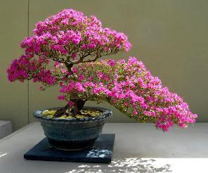 Bonsai imponente
