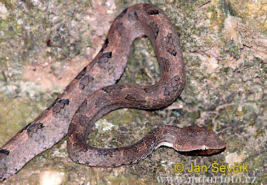 Hump-nosed Pit Viper (Hypnale hypnale)