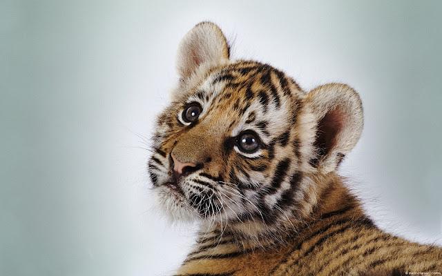 tigre-cucciolo-lavorare-in-uno-zoo