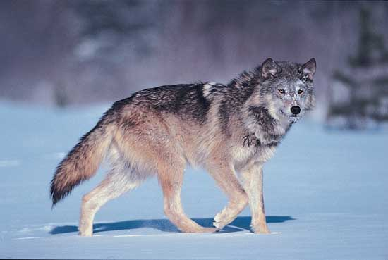 Wolf facts here are just