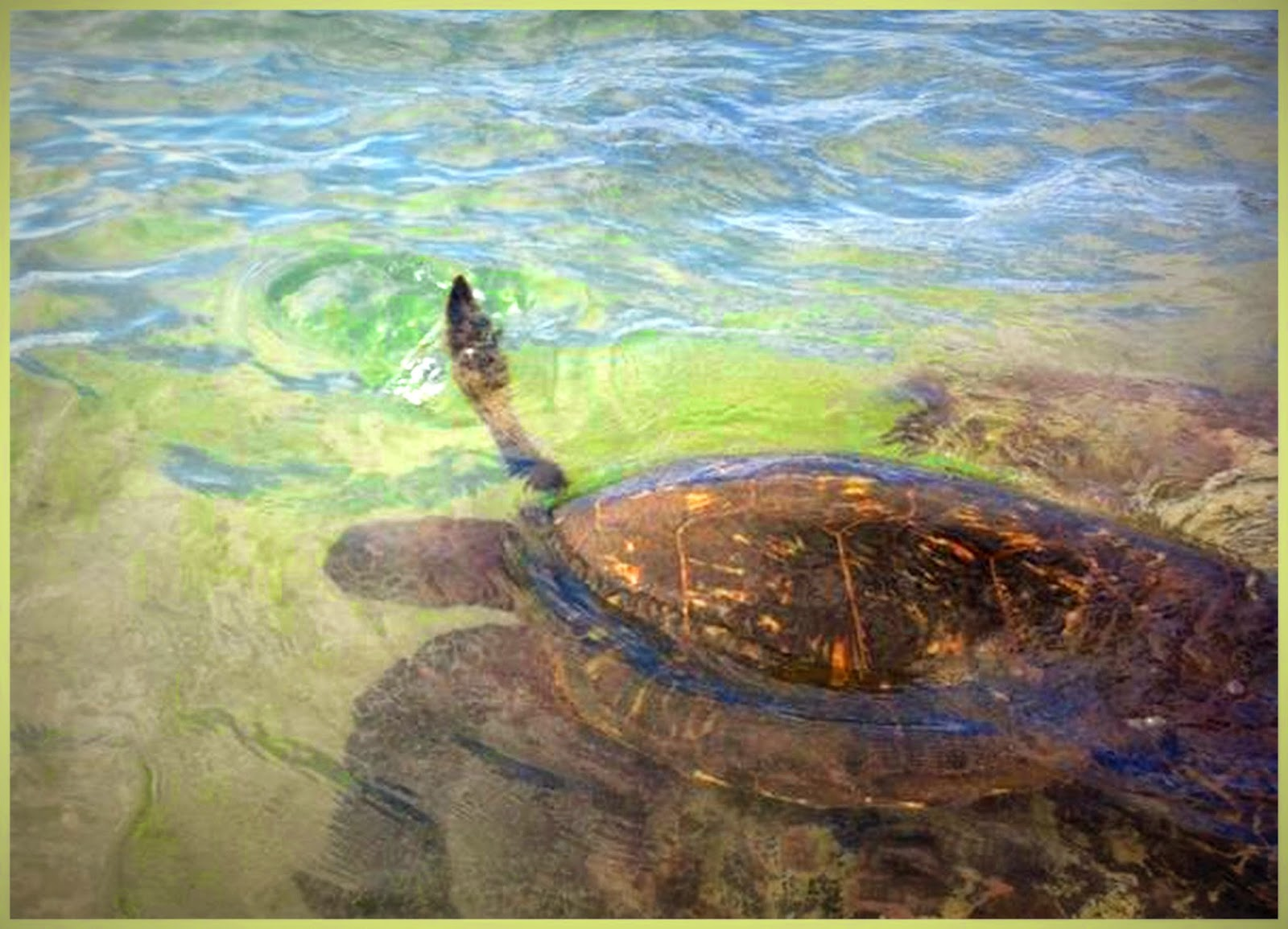 Green turtles in turtle town kaapulua bay