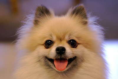 pomeranian dog wallpaper