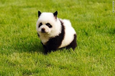 Chú chó có bộ mặt giống gấu trúc