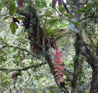Tillandsia prodigiosa in Oaxaca Mexico