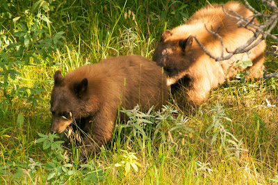 Black bear cubs, Rocky Mountain National Park
