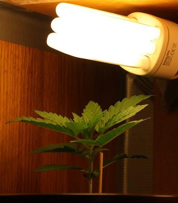 Sistemas de iluminación cannabis interior