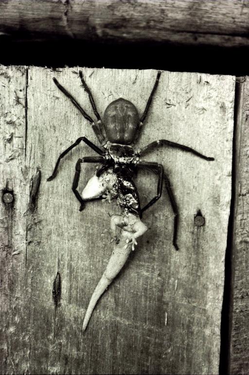 Lizards Eat Spiders Spider-eating-lizard2.jpg