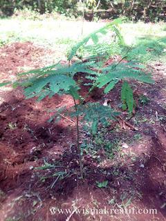 Sambut Musim Hujan Dengan Menanam Pohon Sengon